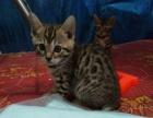 孟加拉豹猫两个月出售
