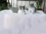 湖南长沙双血统蓝白幼猫价钱