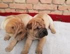 昆明 售自家繁殖2-4个月沙皮犬 疫苗齐全包纯种包健康