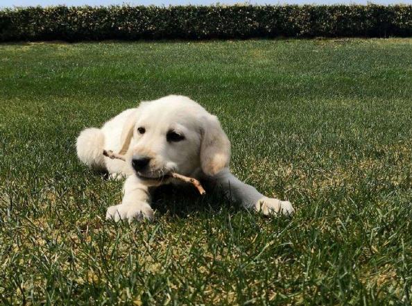 成都狗狗之家长期出售高品质 拉布拉多 售后无忧