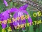 中农蓝天金线莲,白芨,重楼较佳创富机会,种植中草药