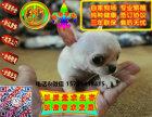 在哪里买纯种的吉娃娃幼犬 吉娃娃幼犬最低多少钱