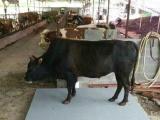 动物秤,带围栏2吨地磅