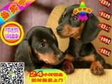 纯种腊肠犬宝宝 活泼可爱 健康保证 签质保协议