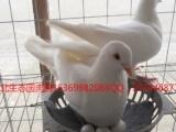 河北生态园肉鸽养殖基地