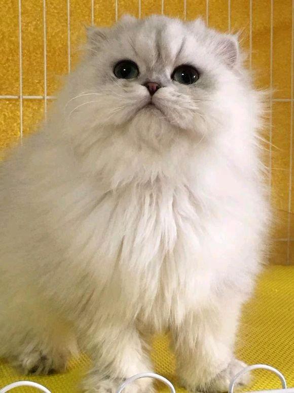 北京哪里有金吉拉猫卖 猫舍直销 健康活泼 包纯种 保养活