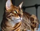 自家豹猫出售 售后三包 包纯种包健康包养活