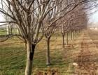 太原10公分樱花树基地规格尺寸全