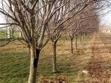 六盘水20公分法桐树种植基地在哪