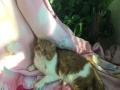 加菲猫借配,品质优良,