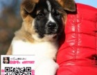 重庆市柴犬价格 重庆柴犬养殖基地哪有 重庆柴犬宠物吧