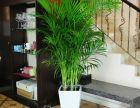 武汉好看的水培绿植铜钱草盆栽,生命力顽强可水培,能不停的分盆