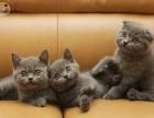 银川哪里有蓝猫卖 蠢萌型 健康无廯送货上门 支持空运