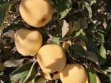 临沂苹果苗,矮化苹果苗,红富士苹果苗,维纳斯黄金苹果苗