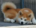 济南纯种秋田价格 济南哪里能买到纯种秋田犬
