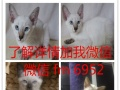 英短蓝白宠物猫短毛猫幼猫活体立耳短毛猫