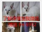 英短银渐层 短毛猫 宠物猫 银虎斑