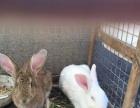 卖兔子 两只180 一公一母 肥肥的兔子