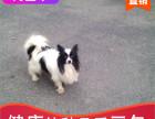 哪里有蝴蝶犬出售多少钱,蝴蝶犬的照片