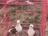 观赏宠物鸽,秀种鸽