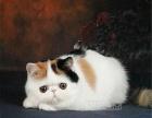 加菲猫幼猫活体 纯种加菲猫宠物活体加菲猫幼猫纯种母