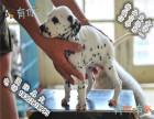 品质好一点的斑点狗多少钱 要纯种品相好的