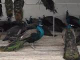 蓝孔雀苗多少钱一只