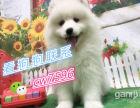 吭谋纯种澳版萨摩耶萨摩耶犬签协议包纯种健康