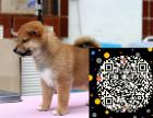 真正正宗的日本柴犬是很老实也可以看家护卫