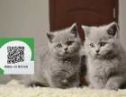 徐州哪里有卖蓝猫 徐州出售蓝猫 徐州蓝猫买卖