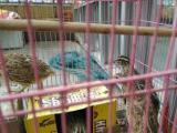 9成新鸟笼,四只正下蛋鹌鹑,自提转让价格50元
