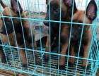 马犬多少钱 精品马犬2~4个月纯血幼犬出售