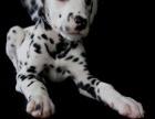 大型犬舍繁殖高品质斑点狗健康有保证欢迎上门