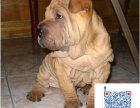 哪里有卖沙皮犬的 沙皮多少钱一只