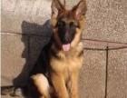 西宁纯种德国牧羊犬价格 西宁哪里能买到纯种德国牧羊犬