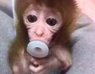 袖珍石猴 ,宠物猴