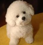 青岛最大狗场 比熊犬等品种三百起 特价直销世界名犬