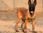 深圳出马犬幼犬纯种健康比利时马犬出售疫苗齐全家养马犬幼犬出售