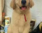 出售纯种大头金毛幼犬 品相好健康有保障