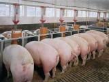 育肥猪怎样养早出栏 优农康专用小包装