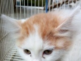 黄头、黄尾蓝眼白猫