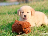 出售巡回犬 导盲犬 忠诚 可爱的金毛犬