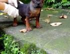 长期出售精品川东猎犬