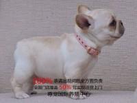 上海法国斗牛犬哪里卖丨上海法牛怎么卖丨法国斗牛犬价格