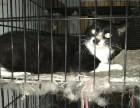 超底价出售成公大黑白公猫