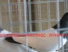 河北生态园肉鸽养殖基地鸽子养殖批发市场