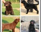 自己家养的双血统拉布拉多犬 颜值高 忍痛出售