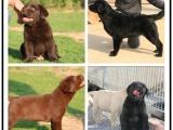自己家養的雙血統拉布拉多犬 顏值高 忍痛出售