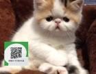 楚雄哪里有加菲猫出售 楚雄加菲猫价格 楚雄宠物猫转让出售