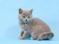 广州靠谱养猫人有英短蓝猫 蓝白 银渐层等上门挑选